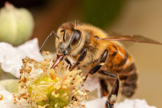 Honeybee on flower (stock image). Credit: © Antony Cooper / Adobe Stock